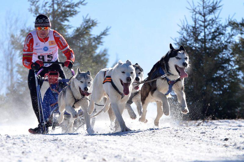 Psie záprahy na Donovaloch. Foto: Shutterstock