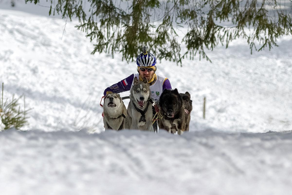 Psie záprahy na Zuberci. Foto: Shutterstock